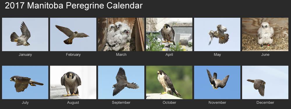 2017 manitoba peregrines calendar
