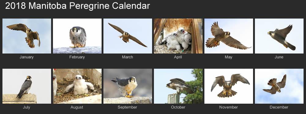 2018 manitoba peregrines calendar