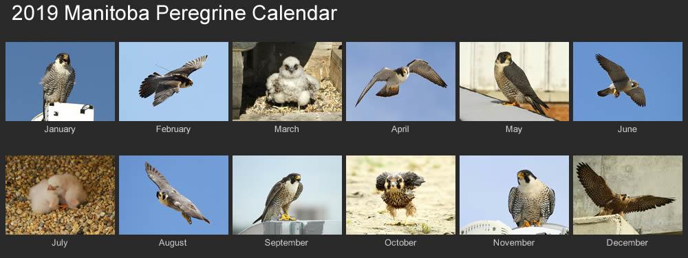 2019 manitoba peregrines calendar